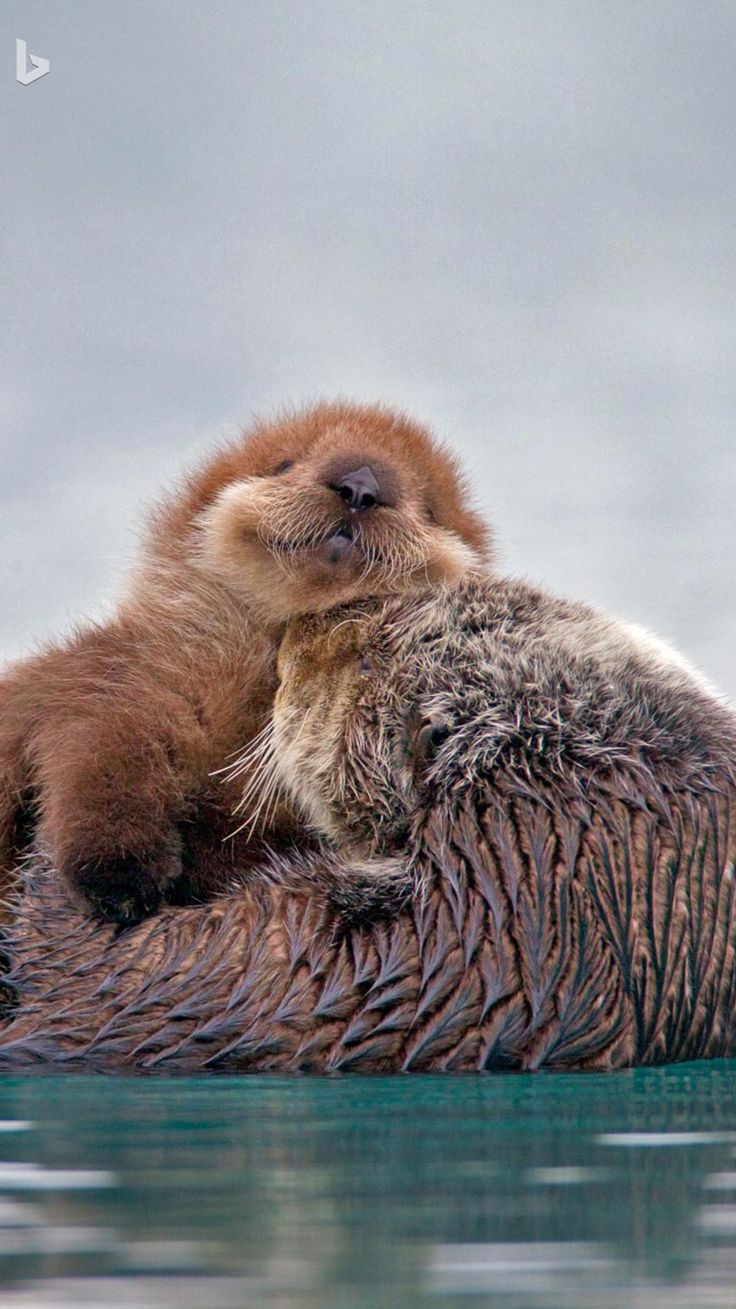 Little cutie Sea Otter pup on Mom.